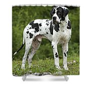 Harlequin Great Dane Shower Curtain
