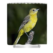 Hooded Oriole Female Shower Curtain