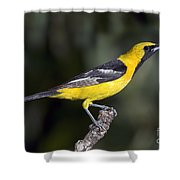 Hooded Oriole Male Shower Curtain
