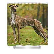 Hungarian Greyhound Shower Curtain