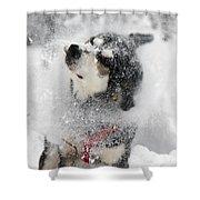 Husky Dogs Pull A Sledge  Shower Curtain