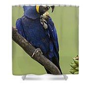 Hyacinth Macaw Eating Palm Nut Shower Curtain