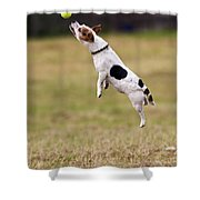 Jack Russell Jumping For Ball Shower Curtain