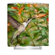 Juvenile Male Ruby-throated Hummingbird Shower Curtain
