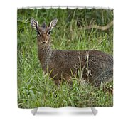 Kirks Dik-dik Shower Curtain