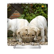 Labrador Puppies Eating Shower Curtain
