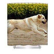 Labrador Retriever Dog Shower Curtain
