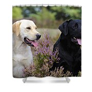 Labrador Retriever Dogs Shower Curtain