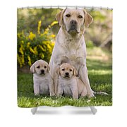 Labrador With Two Puppies Shower Curtain