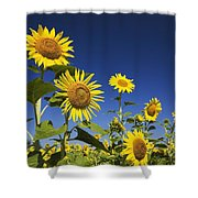 Laval, Quebec, Canada Sunflowers Shower Curtain