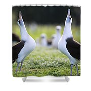 Laysan Albatross Courtship Dance Hawaii Shower Curtain