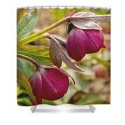 Lenten Roses  Shower Curtain