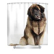 Leonberger Dog Shower Curtain