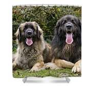 Leonberger Dogs Shower Curtain