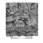 Lion In Repose Shower Curtain
