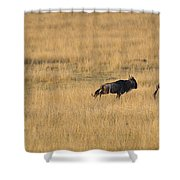 Lion On The Hunt Shower Curtain