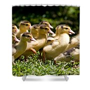 Yellow Muscovy Duck Ducklings Running In Hurry  Shower Curtain