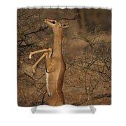 Male Gerenuk Shower Curtain