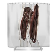 Male Muscle Anatomy Of The Human Legs Shower Curtain