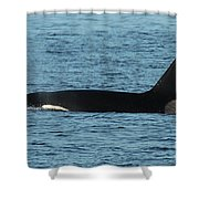 Male Orca Killer Whale In Monterey Bay California 2013 Shower Curtain