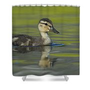 Mallard Duck Swimming In Marsh Pond Shower Curtain