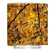 Maple Tree In Yellow Fall Colors Shower Curtain