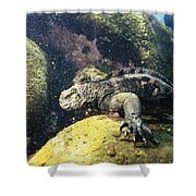 Marine Iguana Grazing On Seaweed Shower Curtain