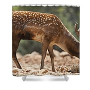 Mesopotamian Fallow Deer 2 Shower Curtain
