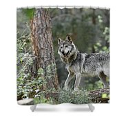 Mexican Grey Wolf 1 Shower Curtain