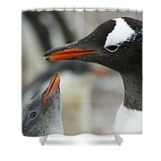 Mother And Chick Gentoo Penguins  Shower Curtain