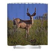 Mule Deer Buck In Velvet   #2231 Shower Curtain