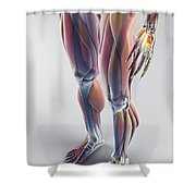 Muscles Of The Lower Body Shower Curtain