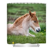 New Born Foal, Iceland Purebred Shower Curtain