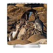 Nz Yellow-eyed Penguins Or Hoiho Feeding The Young Shower Curtain