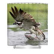 Osprey With A Living Fish, Fischadler Shower Curtain