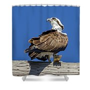 Osprey With Fish In Talons Shower Curtain