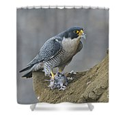 Peregrine Eating Pigeon Shower Curtain