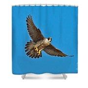 Peregrine Falcon In Flight Shower Curtain