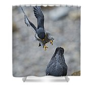 Peregrine Falcons Mating Shower Curtain