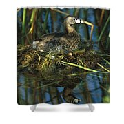 Pied-billed Grebe Nesting Texas Shower Curtain