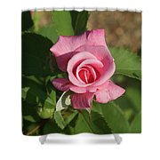Pink Rose... Shower Curtain