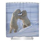 Polar Bear Males Sparring Churchill Shower Curtain