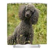Poodle Dog Shower Curtain