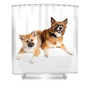 Icelandic Sheepdog Puppy And Adult  Shower Curtain