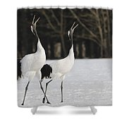 Red-crowned Cranes Courting Shower Curtain