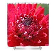 Red Dahlia Flower Shower Curtain