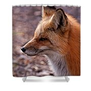 Red Fox In Prospect Park Shower Curtain