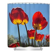 Red Tulips With Blue Sky Background Shower Curtain