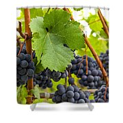 Red Wine Vineyard 3 Shower Curtain
