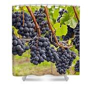 Red Wine Vineyard 4 Shower Curtain